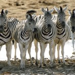 Think Zebras, Not Horses